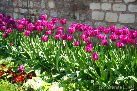 【トルコ旅行 Day6-4】春のイスタンブール・ギュルハネ公園はチューリップが満開